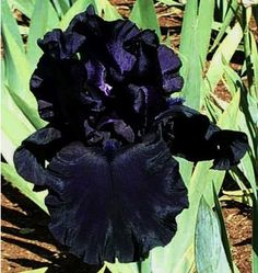 Les iris noir and tude on pinterest for Jardinerie des jardins