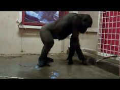 Break Dancing Gorilla at the Calgary Zoo - YouTube