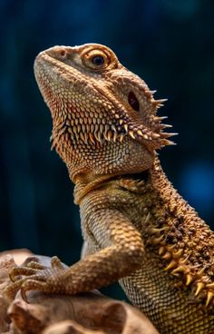 If you have a bearded dragon you have probably heard many times that you should feed it crickets but this often causes bearded dragons to become overfed. Les Reptiles, Cute Reptiles, Reptiles And Amphibians, Bearded Dragon Terrarium, Bearded Dragon Diet, Cute Bearded Dragon, Baby Animals, Funny Animals, Cute Animals