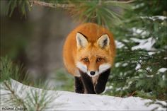 Red Fox On The Prowl by Daniel Cadieux #xemtvhay