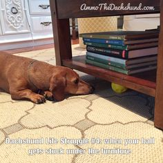 Dachshund Life Struggle // The Struggle is Real // Ammo the Dachshund Dachshund Facts, Dachshund Funny, Dapple Dachshund, Long Haired Dachshund, Dachshund Puppies, Dachshund Love, Daschund, Chihuahua Dogs, Pet Dogs