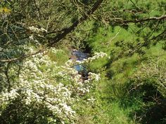 Whitethorn in may - Ita Marquess - Picasa Web Albums