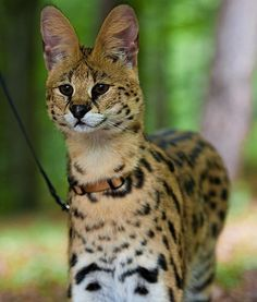 10 Wild Animals That Are Becoming Domesticated Pets Serval cat Big Cats, Cats And Kittens, Wild Cat Species, Serval Cats, Cats Bus, Loyal Dogs, Wild Creatures, Animales, Dogs