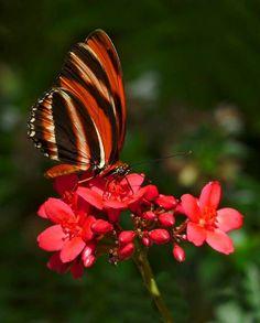 Bushfoot Butterfly