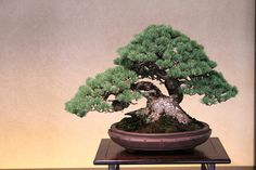 五葉松 Goyo-matsu (Japanese Five Needle Pine)  bonsai