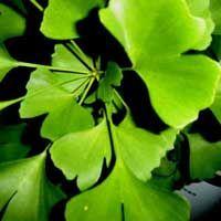 Ginkgo Biloba für starke Nerven und das Gedächtnis - Gesund24h