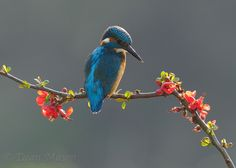 Backlit Kingfisher II by Dean Mason, via 500px