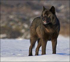 Romeo the black wolf