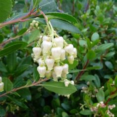 Arbutus unedo Tree Arbutus Unedo, Strawberry Tree, Fall Fruits, Common Names, Evergreen Trees, Types Of Soil, Shrubs, White Flowers, Flora