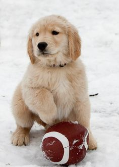 Golden Retriever puppy trying out for quarterback