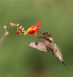 Male ruby throated hummingbird  by Daniel Gelinas, via 500px