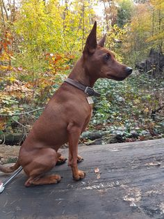 Mini Pinscher, Miniature Pinscher, Animals And Pets, Funny Animals, Cute Animals, I Love Dogs, Cute Dogs, Dog Best Friend, Beautiful Dogs