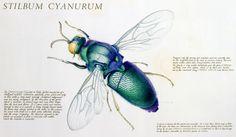 W. H. Gilby, Stilbum cyanurum - Cuckoo wasp
