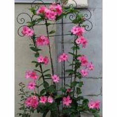 Backyard Plants, Garden Plants, House Plants, Garden Art, Garden Design, Climbing Flowers, Little Gardens, Colorful Plants, Flowering Vines
