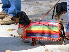 Cinco de Mayo doxie. I seriously laughed out loud. @Kelly Teske Goldsworthy Riffle this is something you would love.