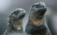 Image: Land iguanas are seen at the Galapagos National Park on Santa Cruz Island (© GUILLERMO GRANJA//Reuters)