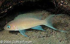 Scientific Name: Neolamprologus gracilis (Kanoni) Tropical Aquarium, Tropical Fish, Aquarium Fish, Lake Tanganyika, African Cichlids, Fish Tanks, Amazon, African, Fresh Water