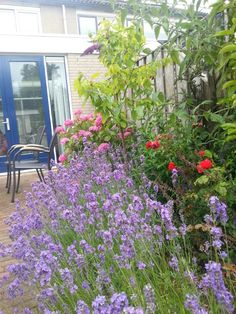 Lavendel 27/06/2014