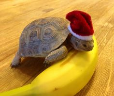 cute little turtle wearing Santa's hat has a banana