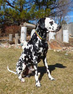 #Dalmatian Simba #dog