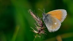 https://flic.kr/p/FsszX9 | Coenonympha glycerion | The Chestnut Heath * Happy Weekend *