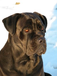 "Cane Corso (the ""other"" Italian Mastiff) - from the same stock as the Neapolitan Mastiff; the two types were bred separately with different goals and became different breeds."