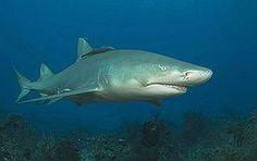 Žralok citronový