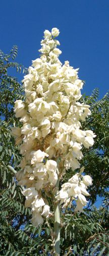 New Mexicos State Flower, the Beautiful and Useful Yucca ...216 x 504 | 173.7 KB | www.adobenido.com