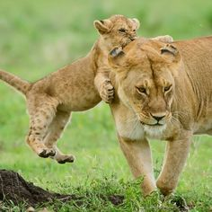 A Lion Cub Gettin' all Excited.