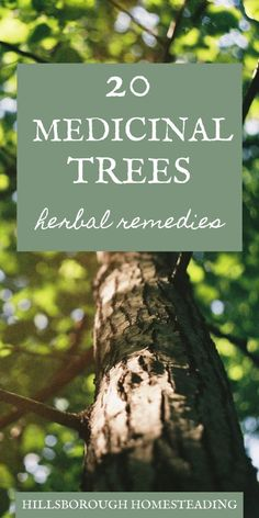 Medicinal trees are useful as natural remedies because they're available year-round, unlike herbs that you have to dry or tincture to preserve. Knowing how to make medicine from the trees available around you, year-round is a vital health and survival skill. Before running to the pharmacy, I always check out the medicinal trees around me. A lot of them can treat common ailments. Click the pin to learn more! | Hillsborough Homesteading #forage #trees #health #home #herbalremed