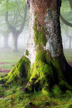 ~~mossy tree in a mystical forest by oskarzapi~~ Mystical Forest, Moss Garden, Old Trees, Old Oak Tree, Walk In The Woods, Tree Forest, Jolie Photo, Tree Of Life, Mother Earth