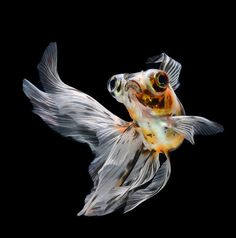 goldfish ballet by bigfileonly, via Flickr
