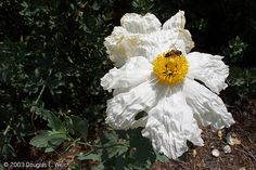 Photo: Matilija Poppy at Theodore Payne Foundation of Wildflowers and Native Plants | A Gardener's Notebook  #garden