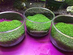 Vitro Dwarf Baby Tears Hemianthus Callitrichoides Live Aquarium Plant Java Moss | eBay
