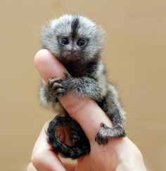 Indigenous to the rain forests of Brazil, Peru, Ecuador, and Colombia, the common finger monkey can grow up to 14 inches. Don't let a finger monkey's looks fool you. Its claws are extremely sharp, and when a provoked, these pygmy marmosets can wreak havoc like you've never seen.