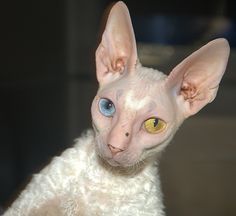 Cornish rex. Love the two different colored eyes on this one.