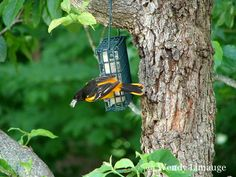 Baltimore Oriole in Connecticut during the Summer months.