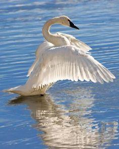 Trumpeter Swan - Bird Species infotmation and Pictures Birds In The Sky, All Birds, Love Birds, Beautiful Birds, Beautiful Swan, Tropical Birds, Colorful Birds, Moose Animal, Swan Pictures