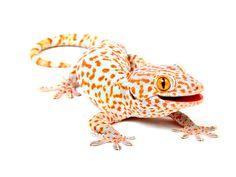 Tokay-Gecko.jpg (640×480)