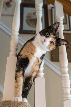 Kitty on the Stairs - Cat Breeds - Our calico cat, Luxie, on the stairs! Cute Baby Cats, Cute Cats And Kittens, Cute Baby Animals, Adorable Kittens, Baby Kitty, Ragdoll Kittens, Sleepy Kitty, Tabby Cats, Bengal Cats