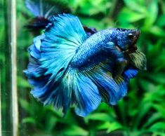 Halfmoon Betta Auctions - Thu May 14 2020 Beta Fish, Halfmoon Betta, Blue Roses, Fish And Chips, Aquariums, Tropical Fish, Auction, Mermaid, Green