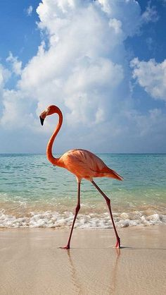Flamingo walking along beach, Holbox, Mexico