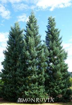 Blue Giant Sequoia - Monrovia - zone 6-9
