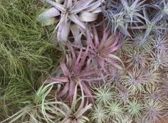 """Caring for Tillandsia Air Plants  Tillandsias – """"air plants"""" – can live where few other plants can because in nature they live perched on branches and rocks and need no soil. Their soil-less habit is why we call them air plants. Use them to create living sculpture, vertical gardens, and miniature living worlds. We always have a large selection of air plants here at the store."""