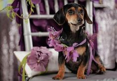Sweet floral collar for our dachshund ring bearer!