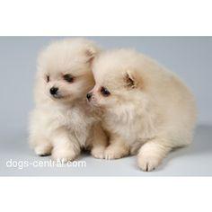 Pomeranians Dogs Puppies (Teacup Tea Cup Pomerainians) - Polyvore