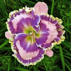 Daylilies Of Distinction Exotic Flowers, Large Flowers, Beautiful Flowers, Daylily Garden, Plantation, Day Lilies, Garden Supplies, Calla Lily, Garden Plants