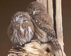Northern Pygmy-Owl | Audubon Field Guide