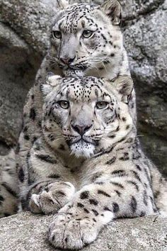 Big Cats, Cool Cats, Cats And Kittens, Beautiful Cats, Animals Beautiful, Animals And Pets, Cute Animals, Wild Animals, Baby Animals