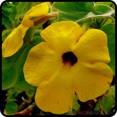 Uncarina grandidieri in bloom  #caudiciform #fatplant #madagascar #mousetraptree #yellow